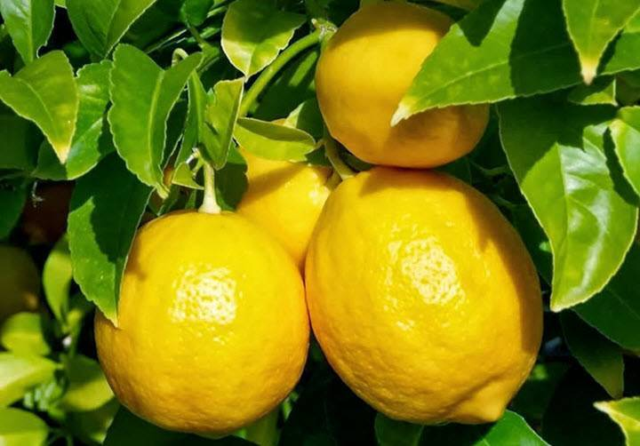 Лимон повышает или понижает давление, чай с лимоном и ...